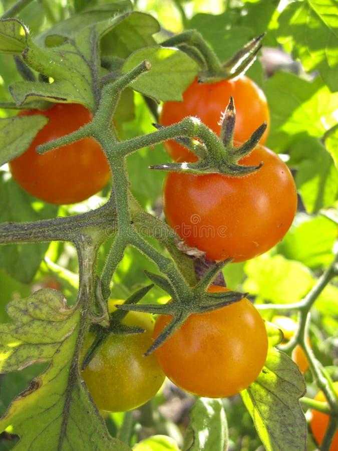 成熟在藤的蕃茄群在一个菜园里 免版税库存图片