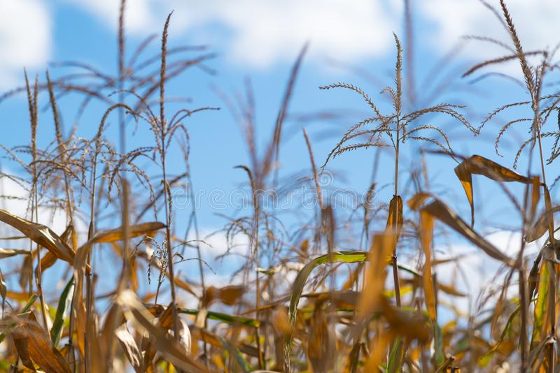 成熟在领域的玉米庄稼的接近的细节 免版税库存照片