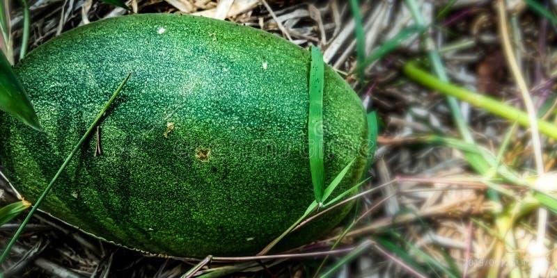 成熟大绿色黄瓜 免版税库存照片