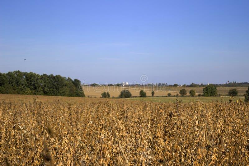 成熟大豆荚垂悬在领域的,很快收获,秋天 库存照片