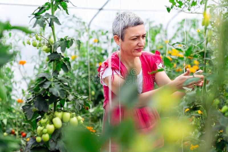 成熟妇女采摘蕃茄自温室 库存图片