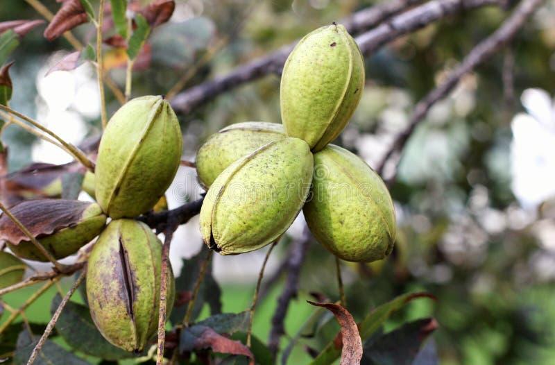 成熟山核桃果荚在树分支的  收割期在庭院里 库存图片