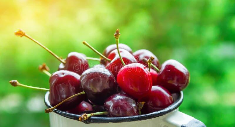 成熟有机新近地采摘了在白色搪瓷杯子的甜樱桃在庭院绿叶背景 夏天果子莓果收获 免版税图库摄影