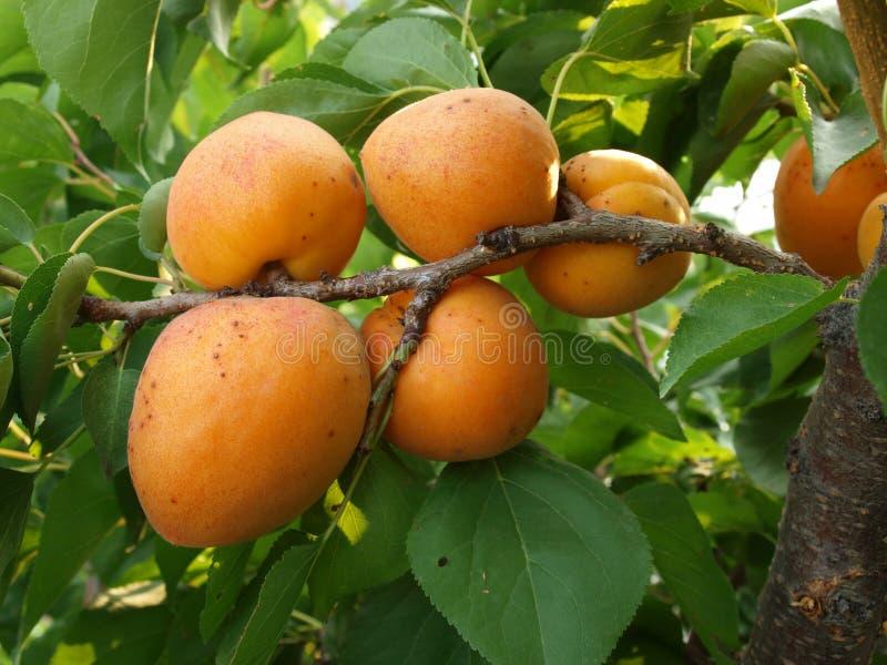 成熟杏子的分行 免版税库存图片