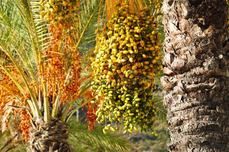 成熟束在枣椰子树的日期在绿色,黄色,橙色和红颜色 Machico,马德拉岛,葡萄牙 免版税图库摄影