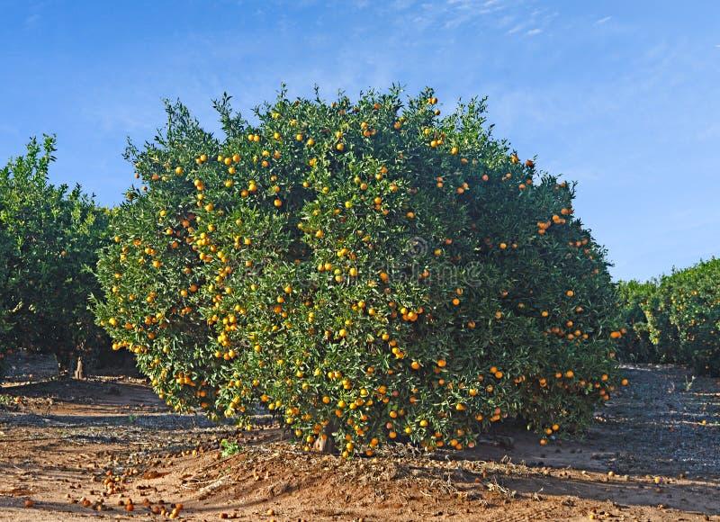 成熟橘树 免版税库存图片