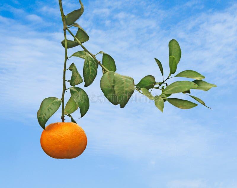 成熟橘树 库存照片