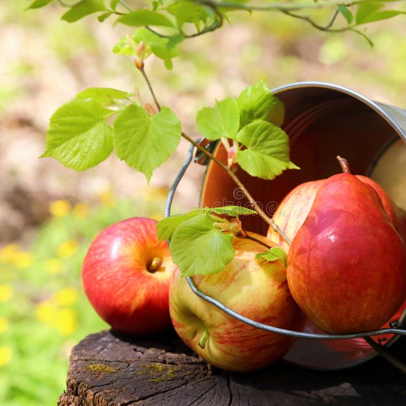 成熟水多的红色苹果和梨收获在一个桶在一个树桩在庭院里自然晴朗的黄绿背景的 库存照片