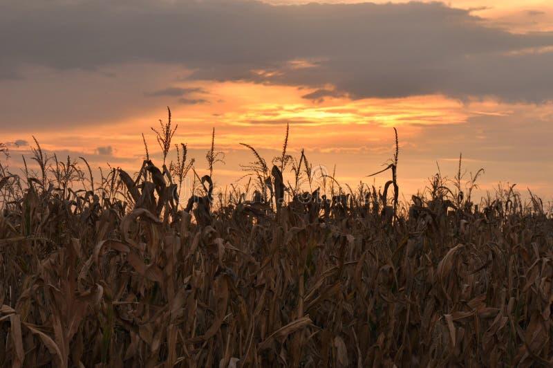 成熟玉米叶子 免版税图库摄影