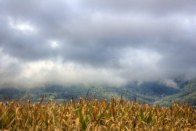 成熟玉米和云彩秋天干燥茎  库存图片