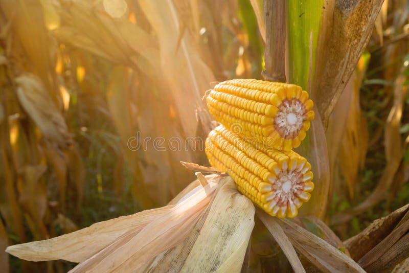成熟玉米玉米棒子 免版税库存照片