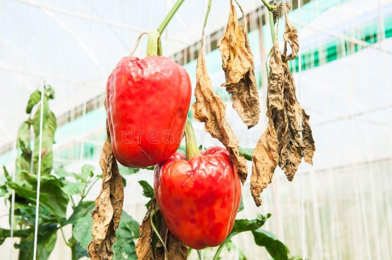 成熟甜椒是疾病 库存照片