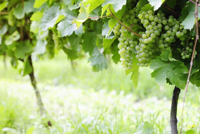 Download 成熟白色蕾斯霖葡萄 库存照片. 图片 包括有 蕾斯霖, 绿色, 收获, 空白, 室外, 种植, 葡萄园, 颜色 - 30326714