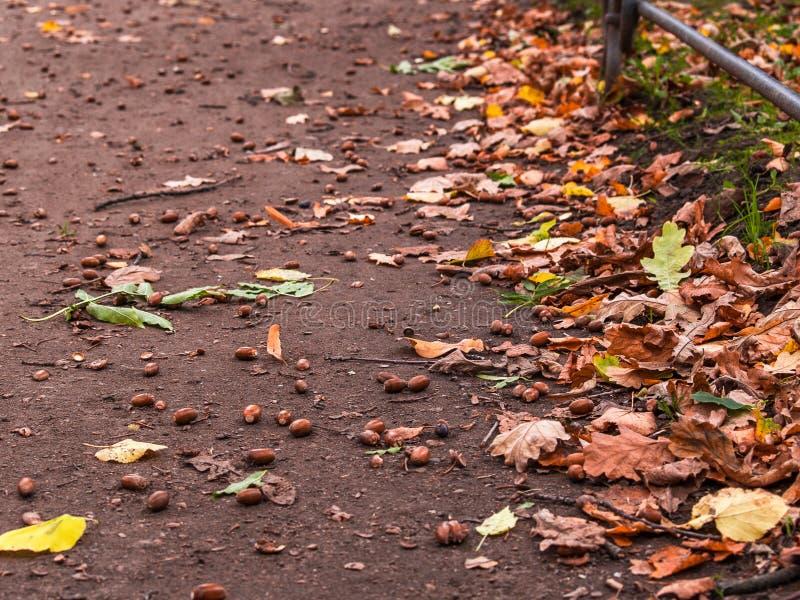 成熟的橡子在地面上说谎与黄色叶子一起  库存照片