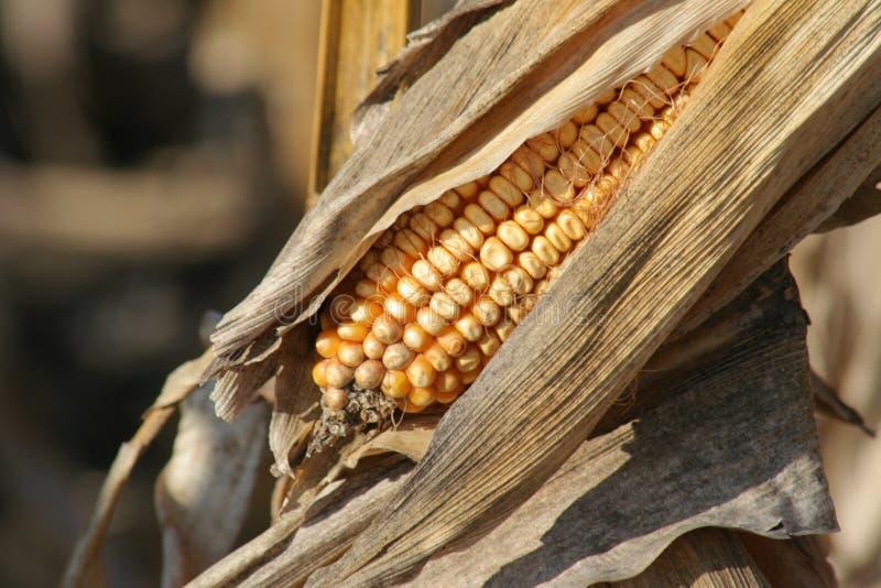 成熟的玉米 库存照片