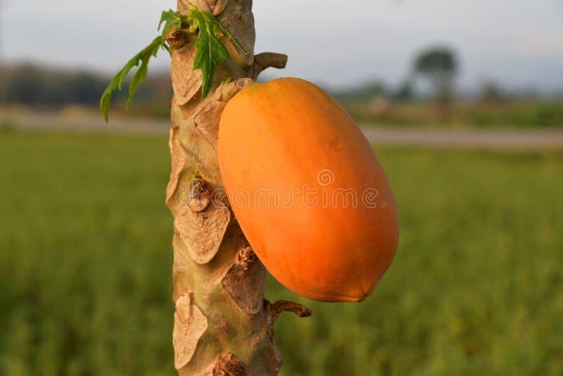 成熟的番木瓜 免版税库存照片