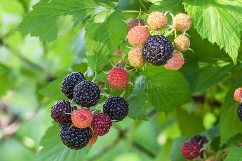 成熟的莓果黑树莓  免版税图库摄影