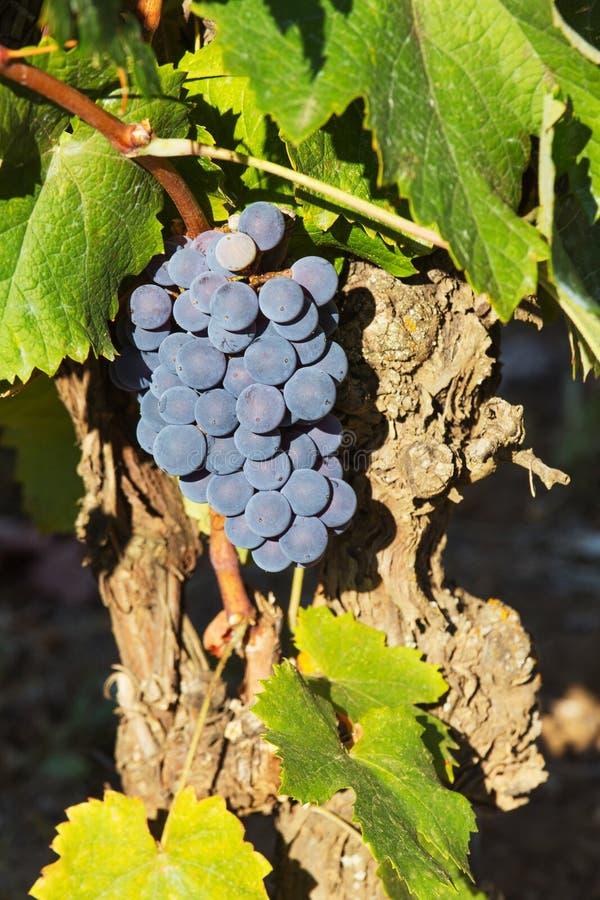 Download 成熟的葡萄 库存图片. 图片 包括有 生长, 工厂, 食物, 葡萄树, 自治权, 农业, 绿色, 有机, 果子 - 59112277