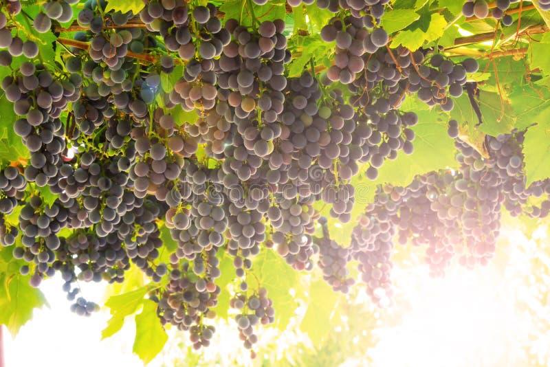 Download 成熟的葡萄 库存图片. 图片 包括有 增长, 农业, 新鲜, 收获, 乡下, 农村, 葡萄, 夏天, 加伯奈葡萄酒 - 59112289