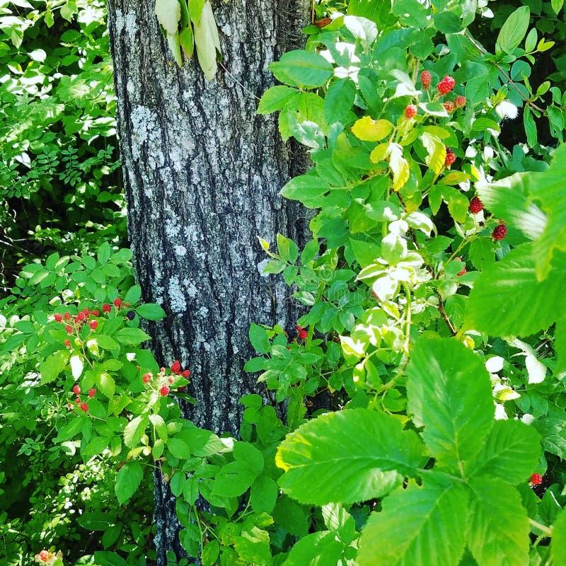 成熟的黑莓 库存照片