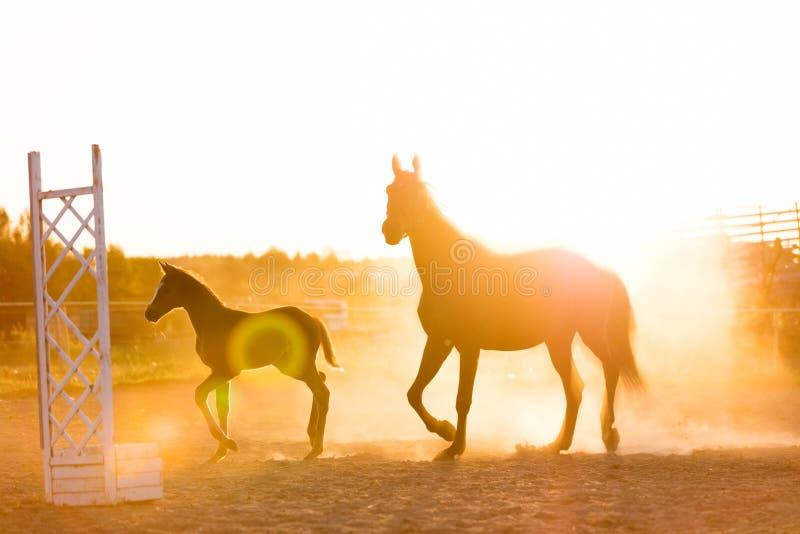 成熟站立在沙子的马和马驹调遣 免版税库存照片