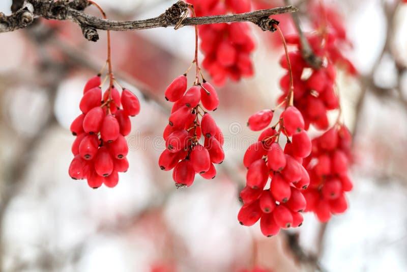成熟红色伏牛花莓果,寻常的小蘖属,分支,秋天,雪背景 库存照片