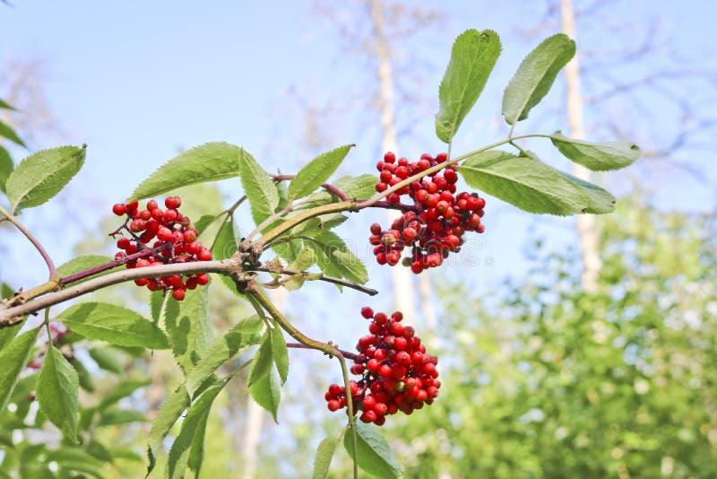 成熟红色接骨木浆果 药用植物 库存照片