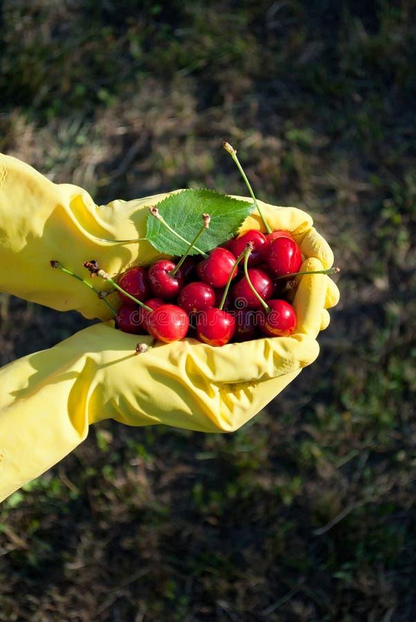 成熟红色甜樱桃和绿色叶子在黄色橡胶手套穿戴的手上,以绿草为背景 免版税库存照片