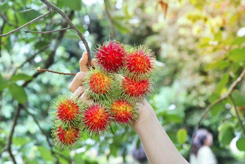 成熟红色红毛丹是束在庭院里 免版税库存图片