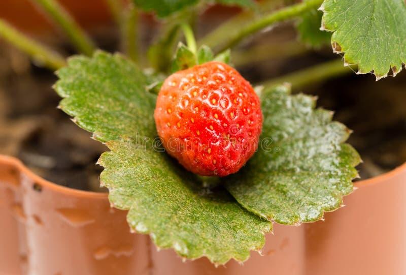 成熟红色草莓在庭院里 免版税库存图片
