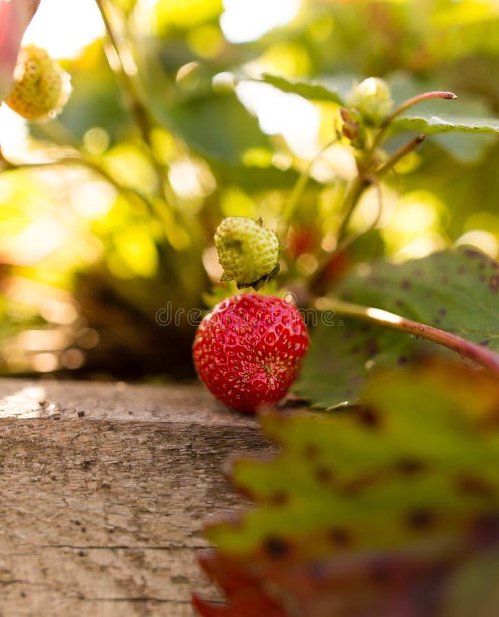 成熟红色草莓在庭院里 免版税库存照片