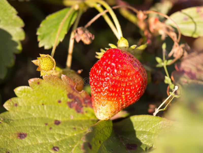 成熟红色草莓在庭院里 库存图片