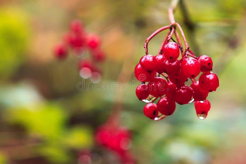 成熟红色荚莲属的植物莓果分支在雨水滴的  秋天接近的自然背景 雪球guelder玫瑰树 免版税库存图片