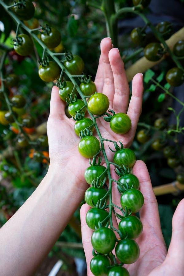 成熟自然蕃茄用手 库存图片