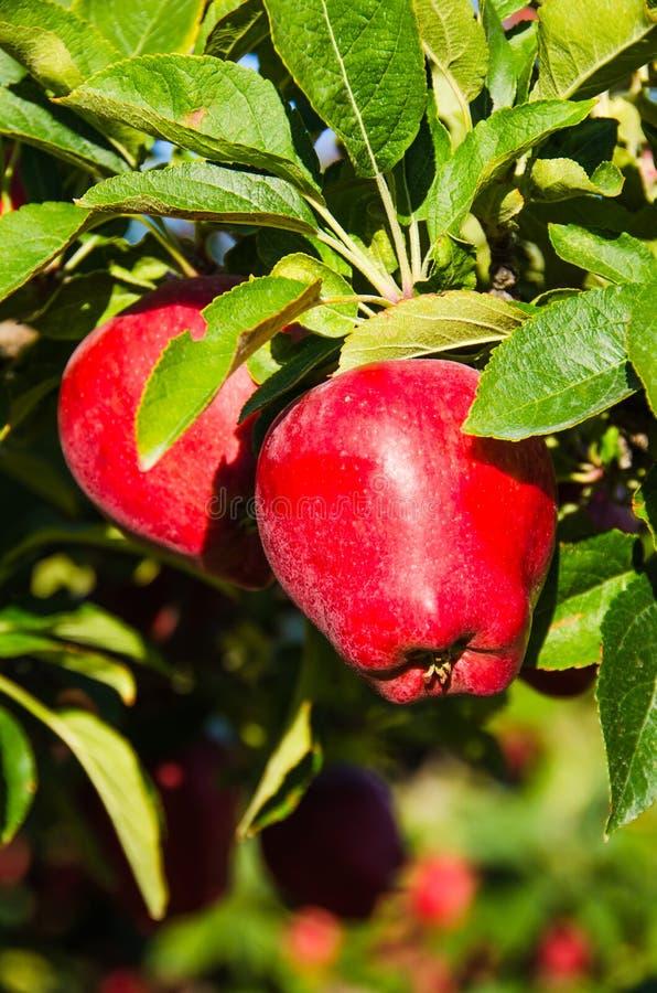 成熟苹果准备好采摘在与绿色叶子的树 库存图片