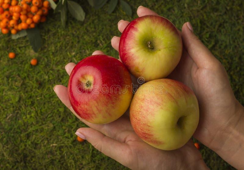 成熟苹果在女性手上 库存照片