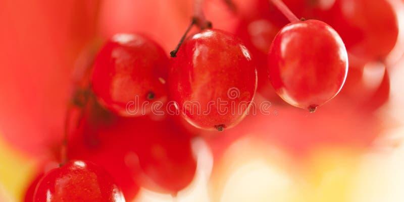 成熟荚莲属的植物红色莓果在一个分支的在一个晴朗的公园 库存图片