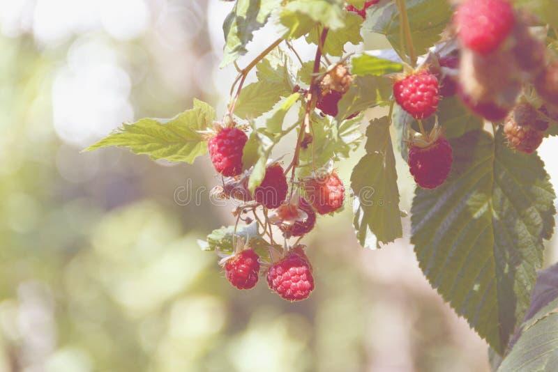 成熟莓分支  库存照片