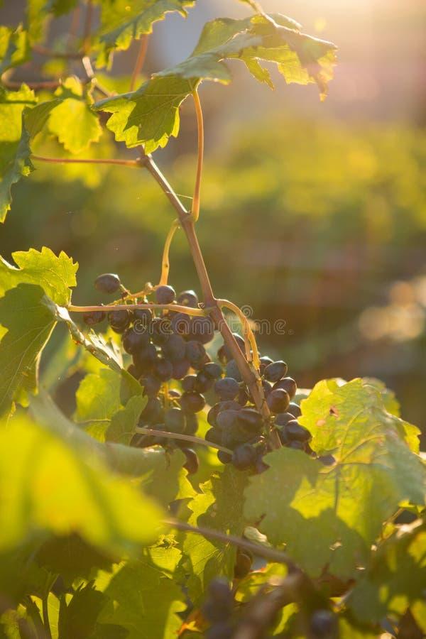 成熟葡萄在一个老葡萄园里在托斯卡纳葡萄种植业区域 库存照片