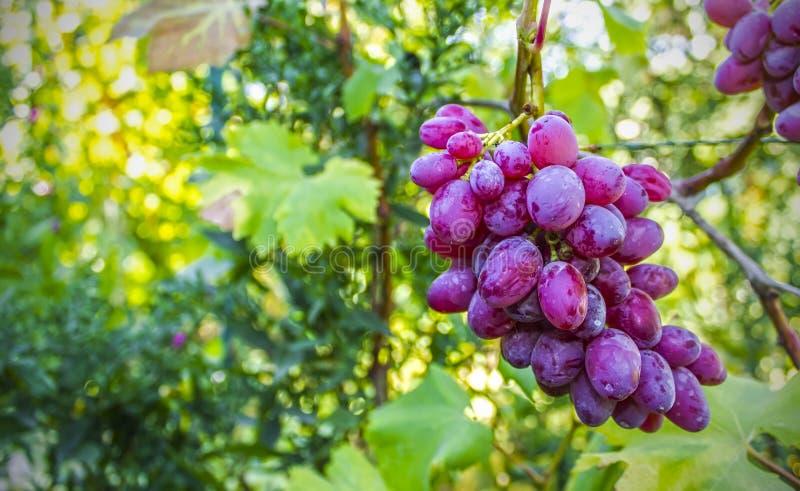 成熟葡萄在庭院里,自然背景 图库摄影