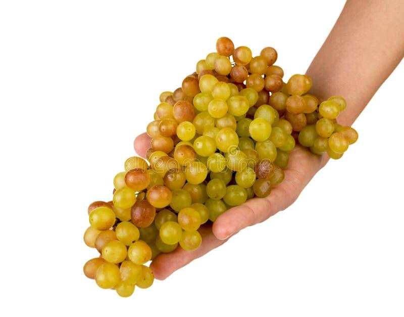成熟葡萄在手中在白色 查出 库存照片