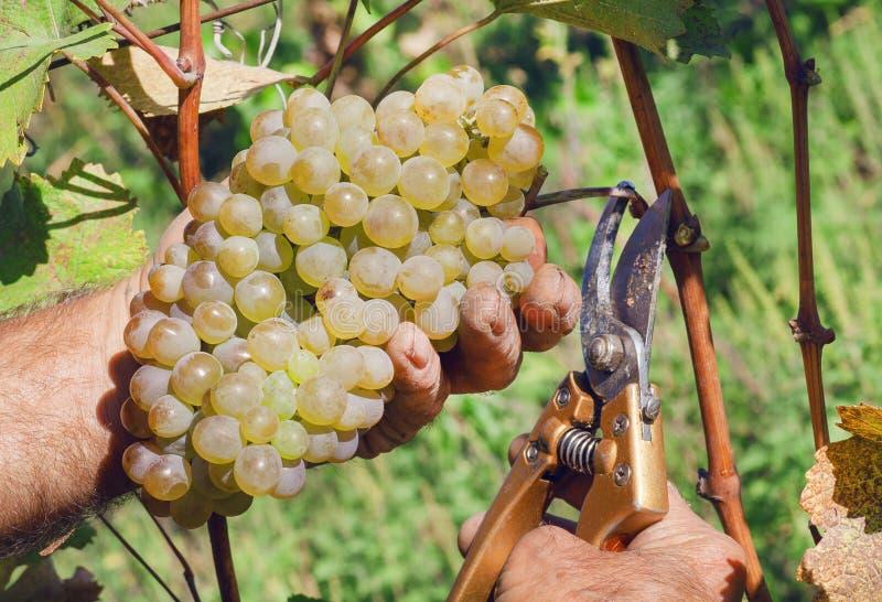 成熟葡萄酒和剪枝夹在农夫` s手上 在晴朗的生态葡萄园的黄绿束在收获期间 库存照片
