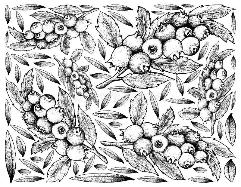 成熟蓝莓果子手拉的背景  库存例证