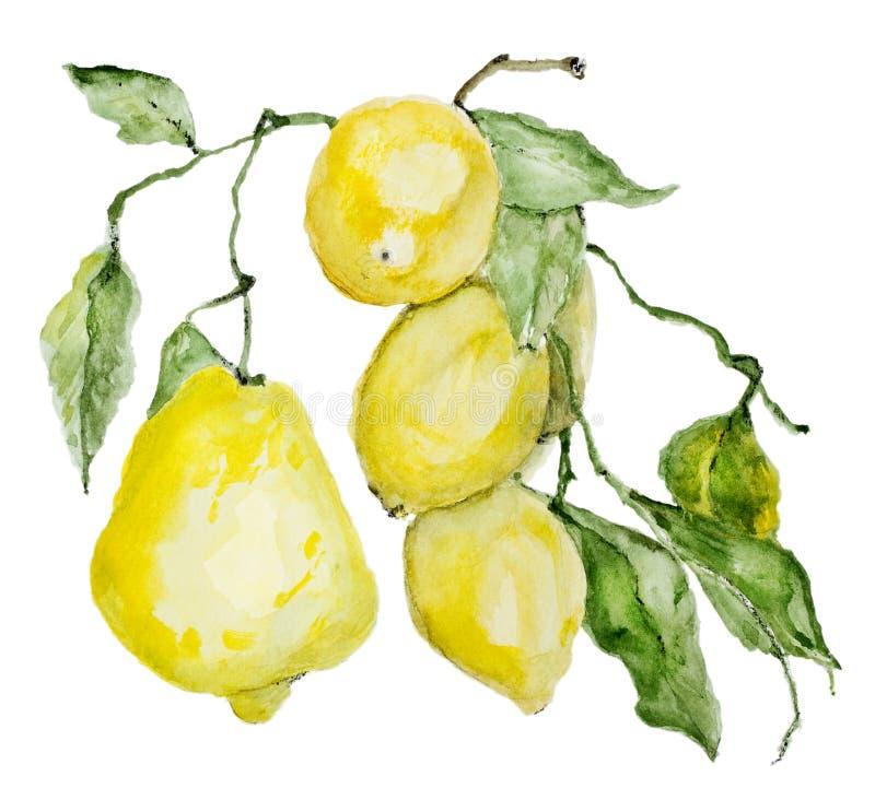 成熟酸柠檬分支  皇族释放例证