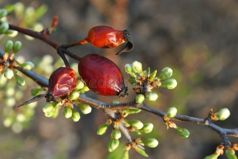 成熟野生玫瑰色莓果和刺野生李灌木分支与白花芽 免版税库存照片
