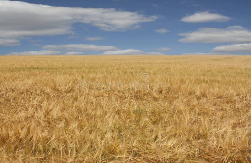 成熟金黄大麦的美好的领域 一个领域的农村风景在一天空蔚蓝下的与白色云彩 图库摄影