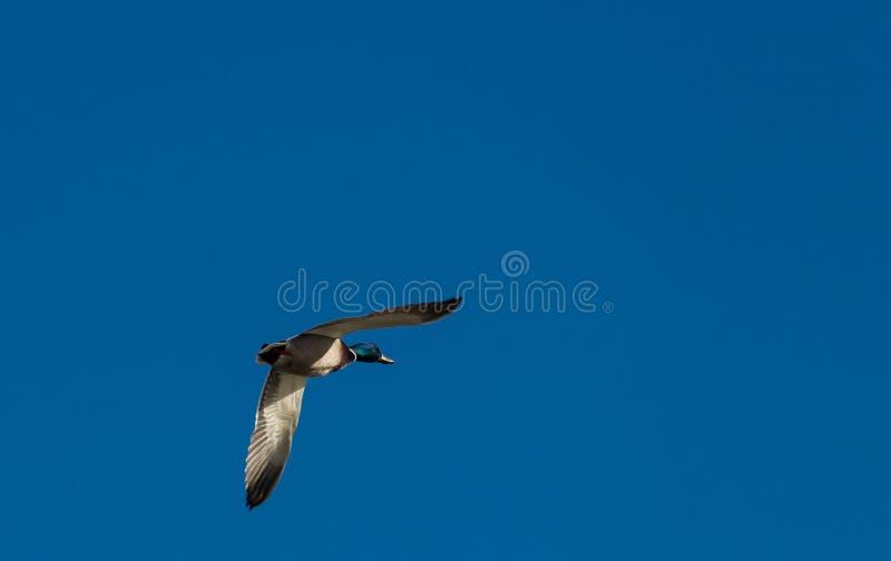 成熟雄鸭野鸭在飞行中反对明亮的蓝天 免版税库存照片