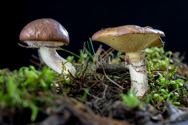 成熟鲜美蘑菇在森林森林在湿青苔结果实在落叶林里 免版税库存图片
