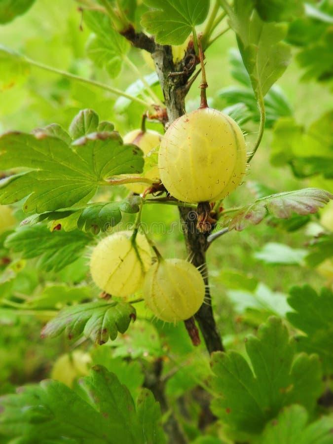 成熟鹅莓在庭院,立陶宛里 免版税库存图片