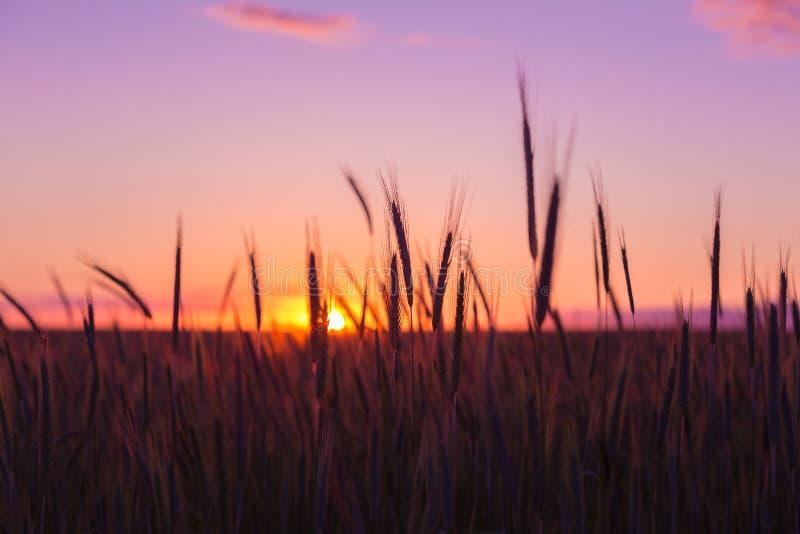 成熟麦子剪影以风景国家为背景的 免版税库存照片